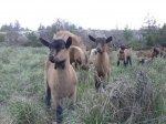 lil goats